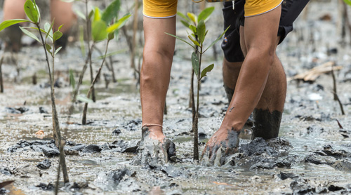 Man planting mangrove in Indonesia
